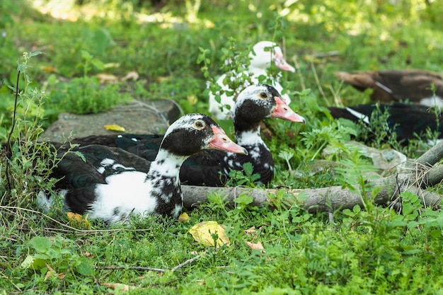 Domestic group of ducks in nature