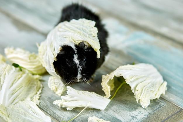 Домашняя морская свинка ест листья капусты