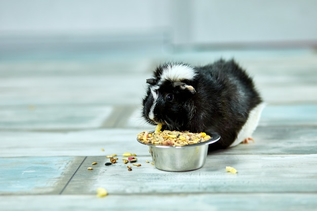 Domestic guinea pig eating dry grain food from metal bowl at home
