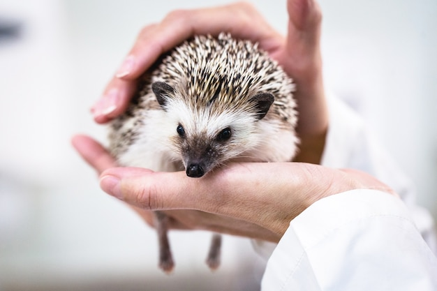 Domestic hedgehog being taken care of by veterinarians, animal care