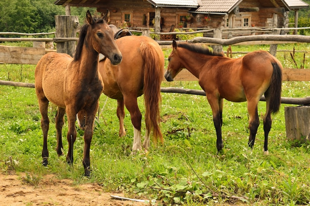 Domestic horse in the village