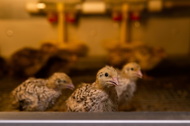 Домашние японские перепела содержат цыплят в брудере в курятнике, крупный план