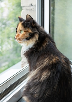 Domestic long-haired three-color orange-black-and-white cat is sitting near window and carefully looking out it. favorite pets. side view, close up. vertical orientation.