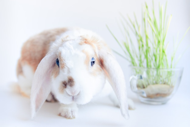Domestic lop ear little red and white color rabbit chewing green grass