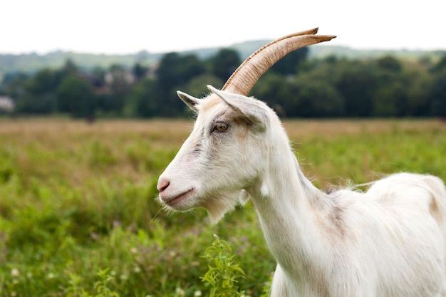 Внутренние красивые козы с длинными рогами в яркий солнечный теплый летний день пасутся на зеленых травянистых полях.