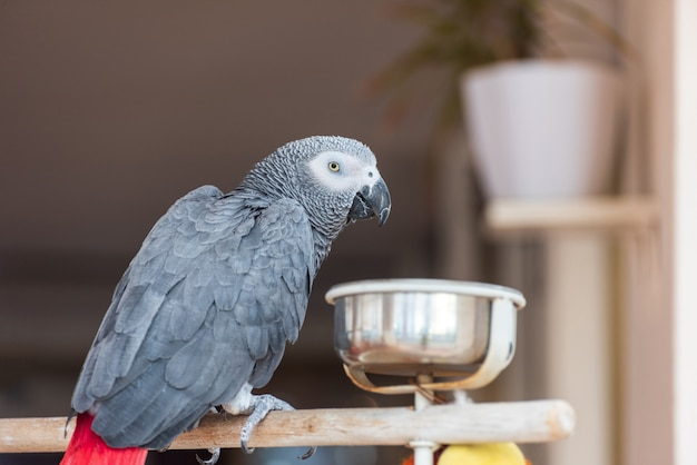 Domestic parrot in the kitchen