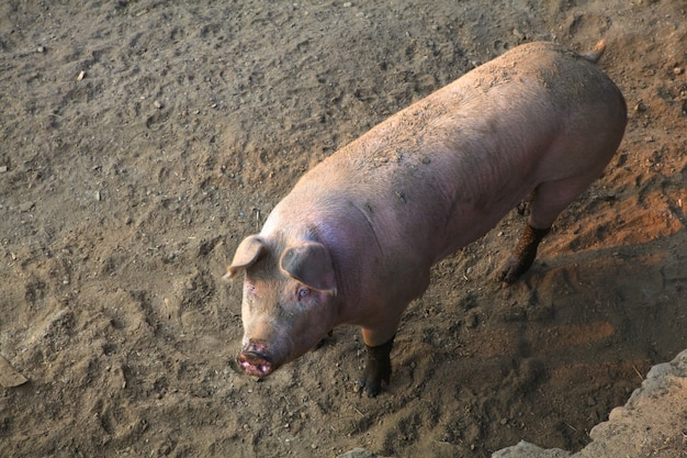 The domestic pig
