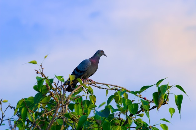 Domestic pigeon or also known as rock pigeon perched on the tree branch and looking around