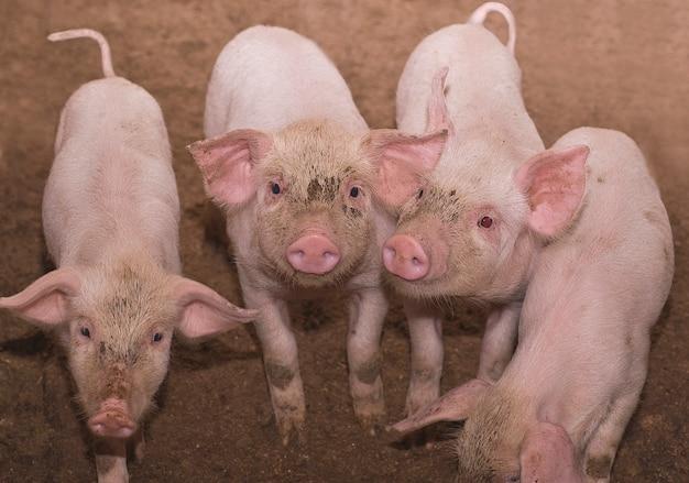 Domestic pigs in a block