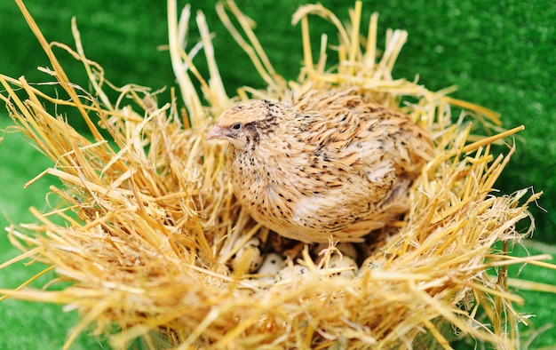 Domestic quail sits in a nest and hatches quail eggs