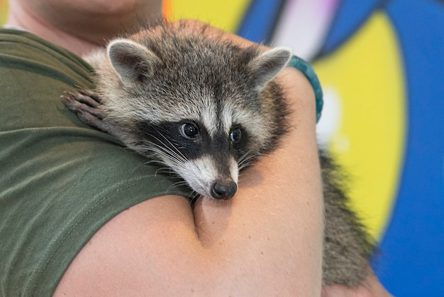 Domestic raccoon in the hands of unrecognisable person wild animal