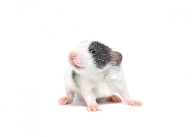 Domestic rat on a white background