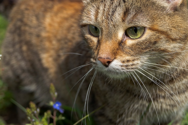 A domestic red cat walks on the grass.
