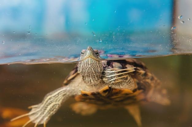 Домашняя красноухая черепаха в аквариуме. слайдер для пруда. trachemys scripta.