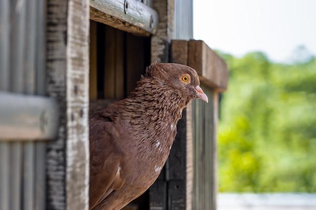 ロフトのドアに座っている国産の赤い鳩