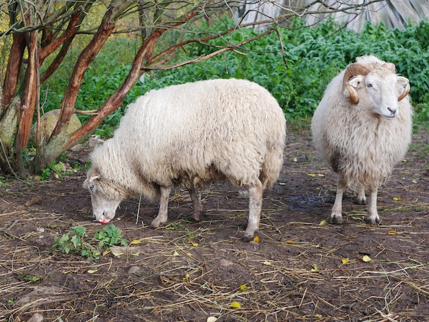 Domestic sheep. agriculture. graze in the meadow. sheeps wool.