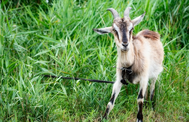 Домашний дым коза с рогами гуляет на пастбище и наслаждается теплым летним днем.
