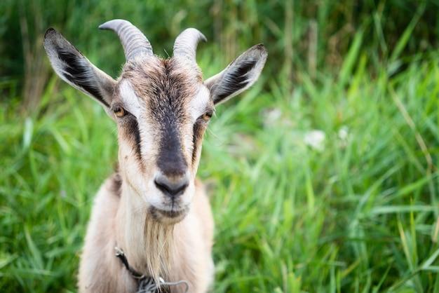 Домашний дым коза с рогами гуляет на пастбище