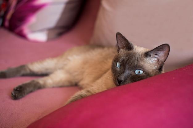 Domestic thai, siamese cat resting on sofa.
