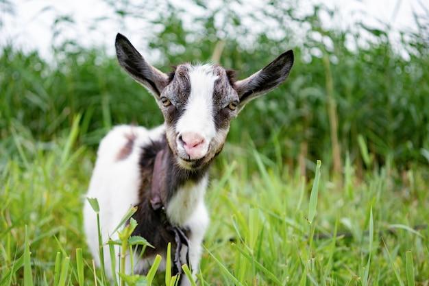 Домашняя белая и серая коза, стоящая на поводке на пастбище