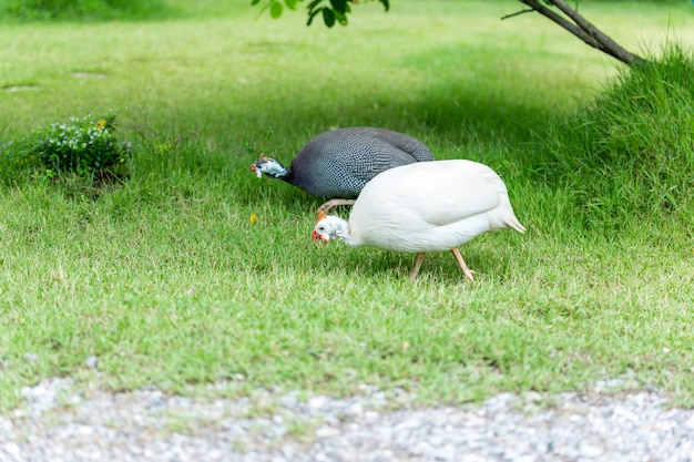 国内の白と灰色のモルモットが緑の草の上を歩いています。