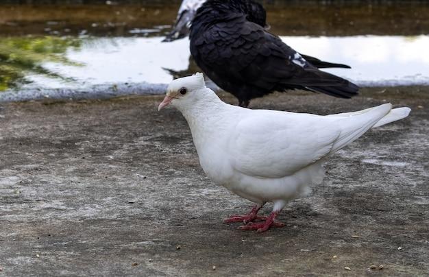 저녁에 옥상에 서 있는 국내 흰 비둘기