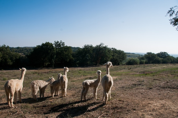 Domesticated camelid herd alpaga cute farm