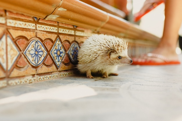 Domesticated hedgehog scampering around the house
