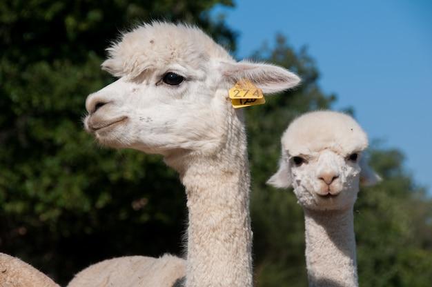 Domesticated herd alpacas cute camelids vicugna