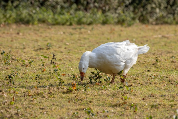 Domesticated white goose wandering across the pasture