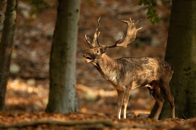 Доминирующая лань рычит в солнечном лесу во время сезона гона осенью