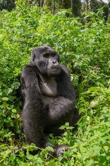 熱帯雨林の優勢な男性のマウンテンゴリラ。ウガンダ。ブウィンディ原生国立公園。