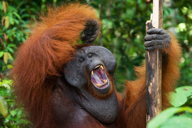 Доминирующий самец орангутана зевает. индонезия. остров калимантан (борнео).