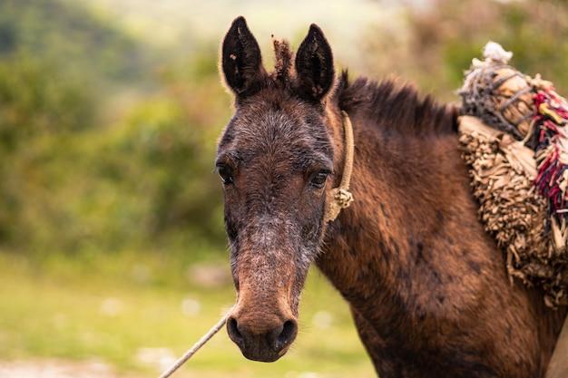 Dominican republic mule