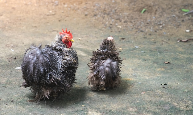 Dominique chickens with black and white feathers as pet in back garden