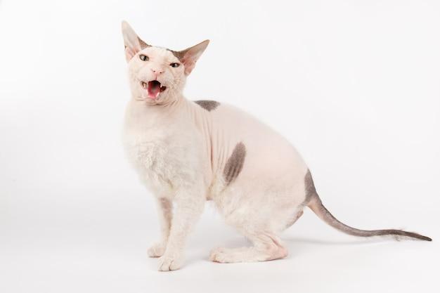 白い背景の上のドンスフィンクス猫