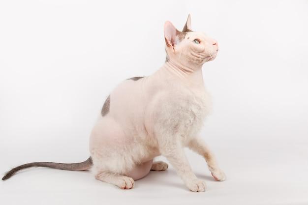 Кот донской сфинкс на белом фоне