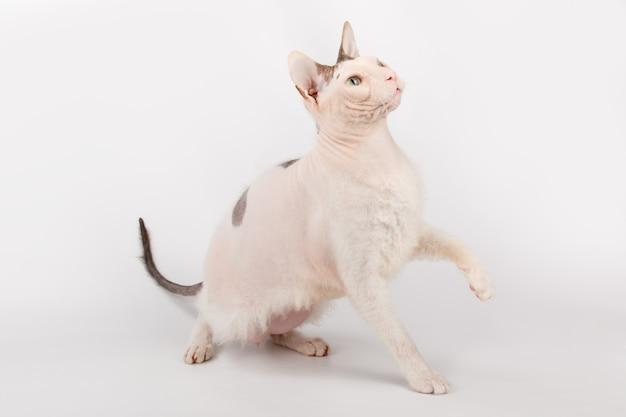 Донской сфинкс кошка на цветной донской сфинкс кошка на белом фоне