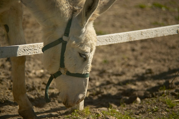 Donkey in a breeding farm to eat by brushing the grass just outside the fence.