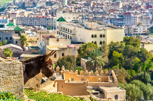 Donkey at the city walls of fes - morocco