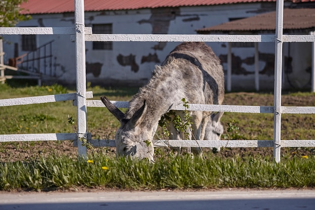 Donkey in the farm enclosure in summer time