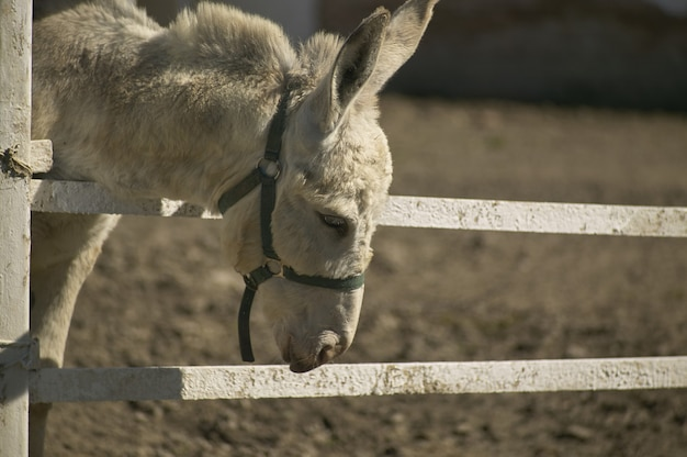 Donkey in a fence with the sad air as if he already knew his destiny.
