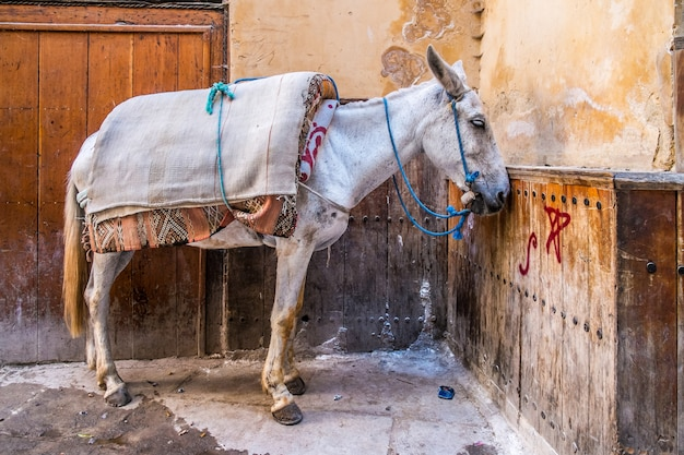 Donkey in fes