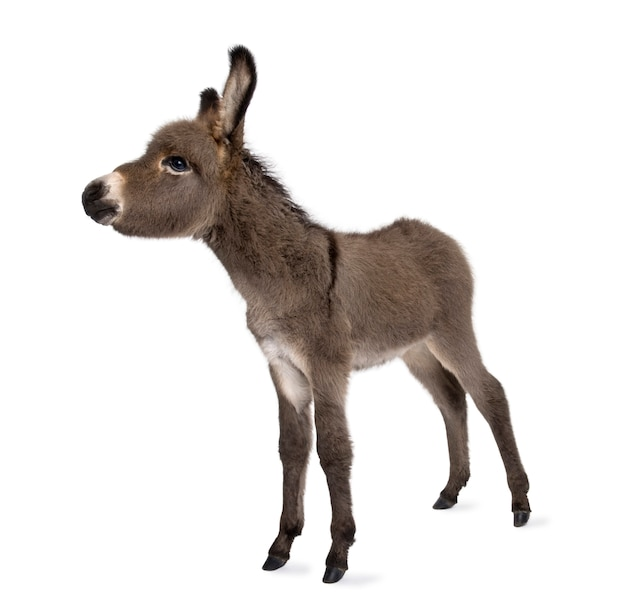 Donkey foal isolated