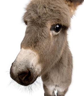Donkey foal isolated