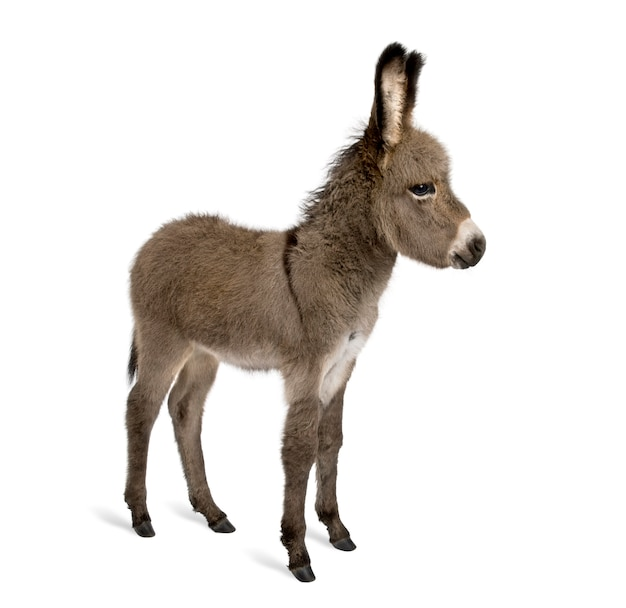 Donkey foal on white isolated