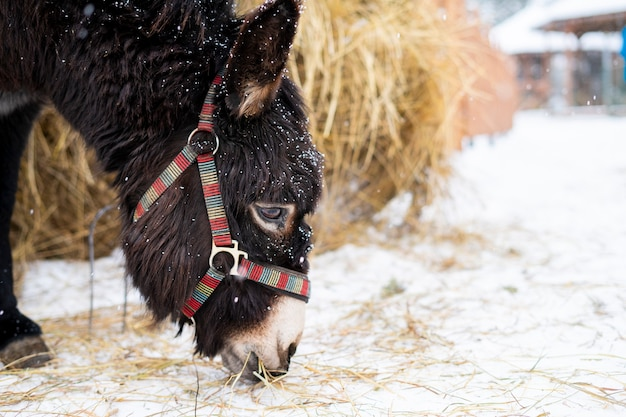 A donkey in a harness eats hay from snow at winter snowy day