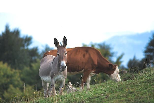 Осел возле пасущейся коровы в северной италии