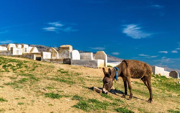 Осел возле гробниц маринидов в фесе - марокко