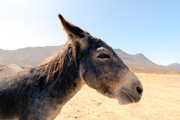 Donkey in the parking lot of playa de cofete on the island of fuerteventura, spain